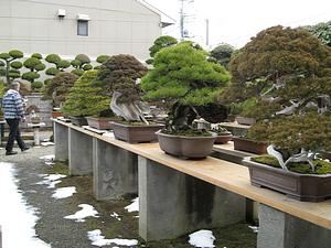 jse_kimuias_bonsai